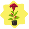 Homegrown Red Celosia