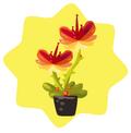 Homegrown Texas Star Flower