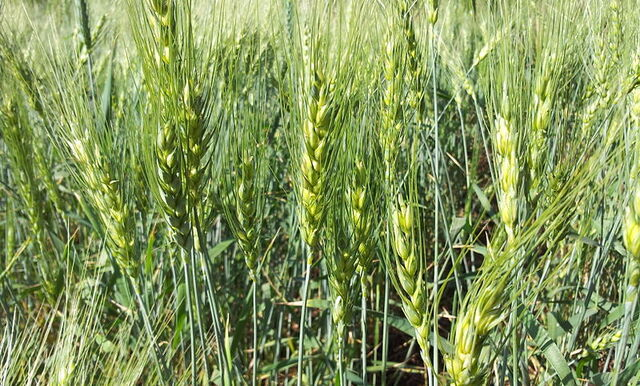 File:800px-Young Wheat crop in a field near Solapur, Maharashtra, India.jpg
