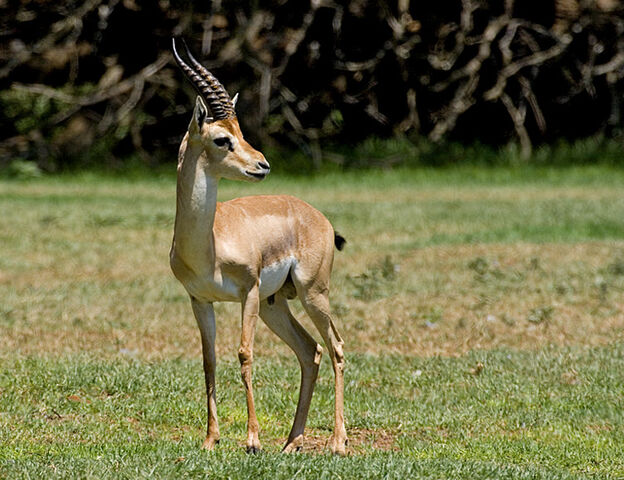 File:Gazella gazella.jpg