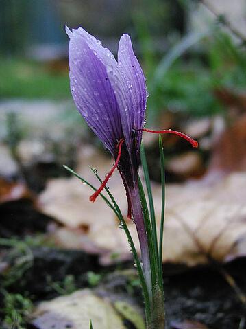 File:Saffran crocus sativus moist.jpg