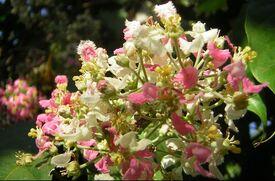 Banisteriopis-caapi-flowers-lg