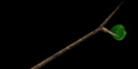 Branch of Paku Paku