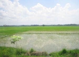 NE rice paddy