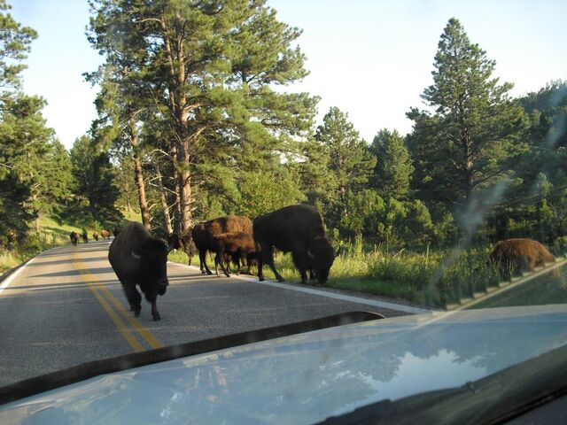 File:Bison in Custer State Park.jpg