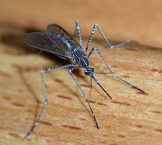 File:Mosquito.jpg