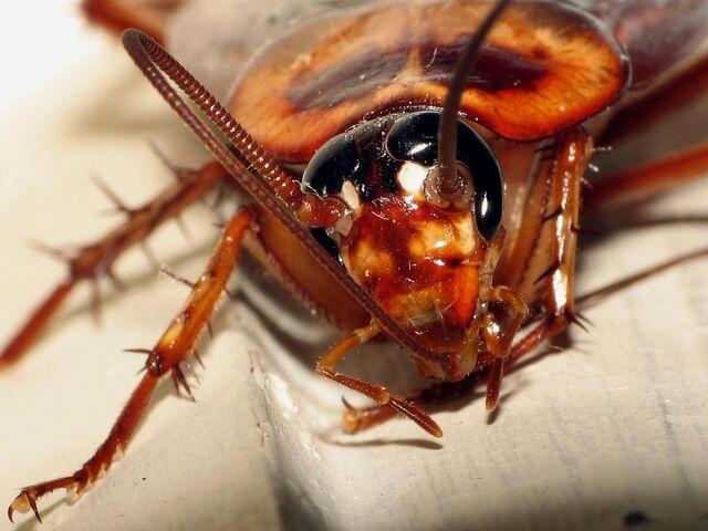 File:Cockroach2.jpg