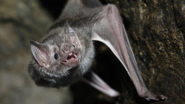 File:Vampire Bat.jpg