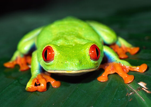 File:Red eyed tree frog.jpg