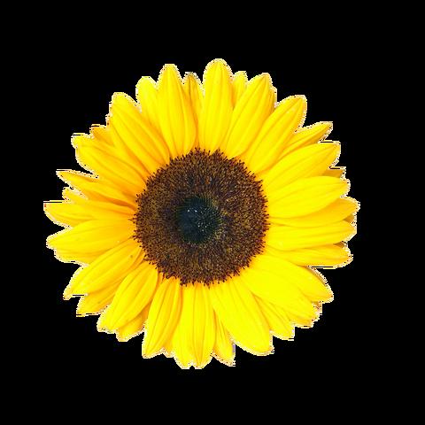 File:Sunflower bg image1.png