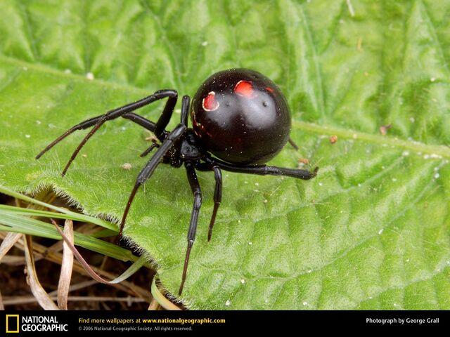 File:Black-widow-spider 2.jpg