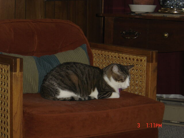 File:Miss Kitty resting in chair.jpg