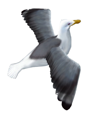 File:Seagull1.png