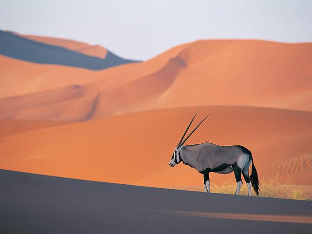 File:Oryx Antelope.jpg