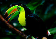 220px-Keel-billed toucan woodland
