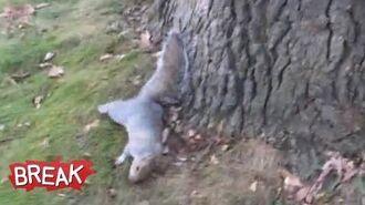 Drunk Squirrel Tries to Climb Tree - Break Fails