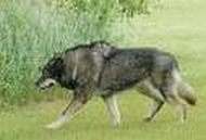 File:Xentricanese Wolfdog.jpg