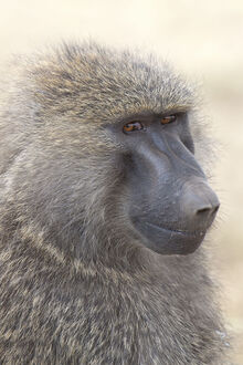 Olive baboon in the Serengeti National Park