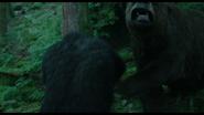 Caesar fends of the bear