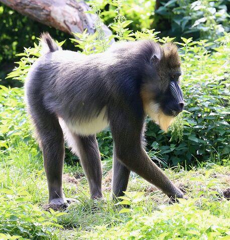 File:Mandrill at Augsburg Zoo.jpg