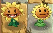 PSunflower