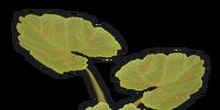 Pumpkin Plant Clone