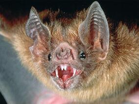 Vampire-bat-1
