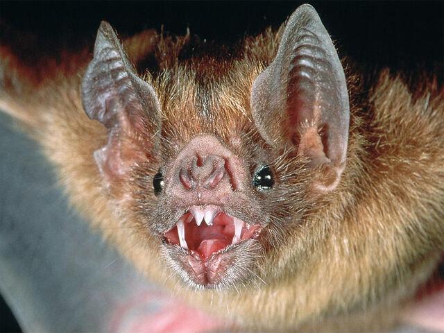 File:Vampire-bat-1.jpg