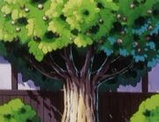 Apricorn Tree