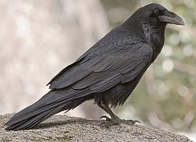 File:Common raven glamor.jpg