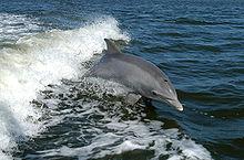 File:220px-Bottlenose Dolphin KSC04pd0178.jpg