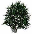Blackthorn tree mature.jpg