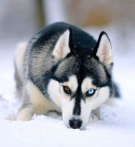 File:Siberian Husky.jpg