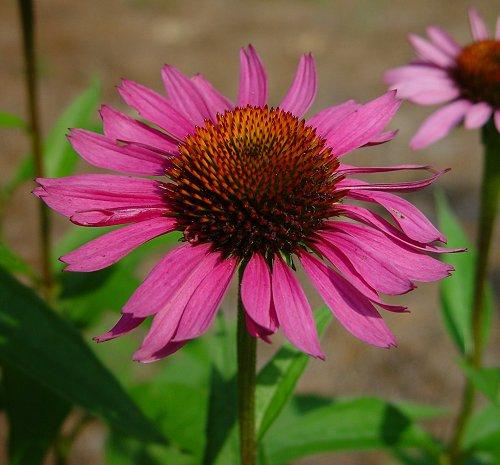 File:Echinacea.jpg