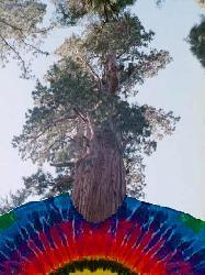 File:Sequoia.jpg
