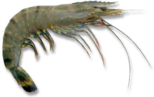 File:Black-tiger-prawn.jpg
