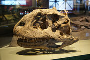 Majungasaurus crenatissimus, a Madagascan theropod, at the Evolving Planet Exhibit at the Field Museum, Chicago, IL