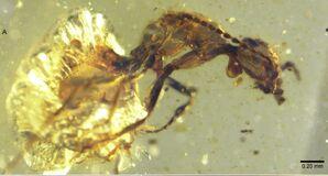 Zigrasimecia in amber