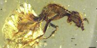 Zigrasimecia