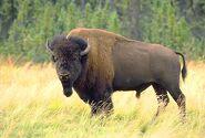 Bison-bison 1739