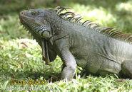 Green-iguana--iguana-iguana-1