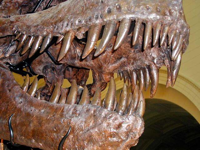 File:Trex.teeth-1-.jpg