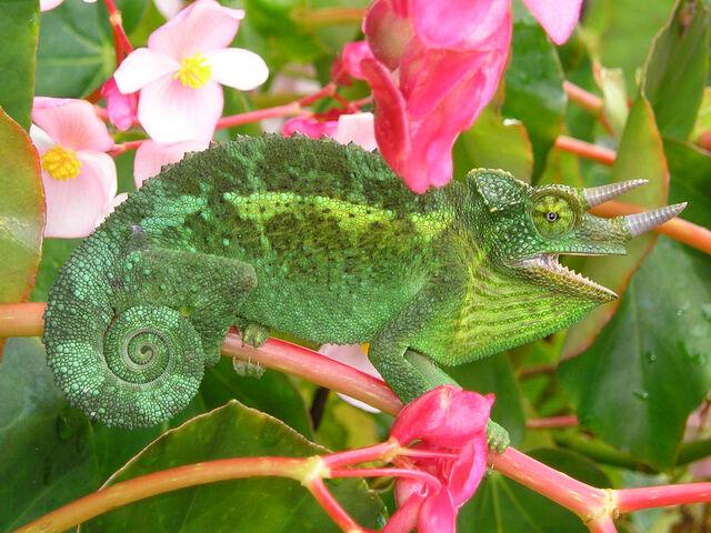 File:Jackson's Chameleon 2 edit1.jpg