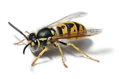 Future Wasp