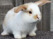 White and tan baby bunny