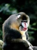 File:Mandrill.png