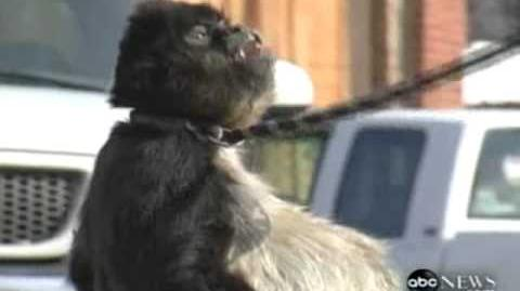 World's FATTEST Monkey? Found in Child's Backyard 911 CALL