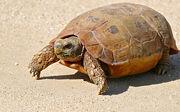 Speke's Hinged Tortoise (Kinixys spekii)