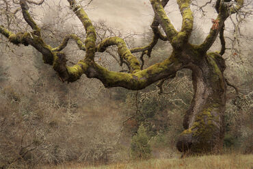 Hollow-Oak2
