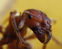 Ant head closeup